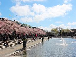 ストックホルムの桜と日本文化